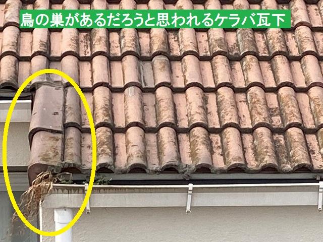 結城市でケラバ瓦下の鳥の巣撤去中!コウモリが飛び出してきた!