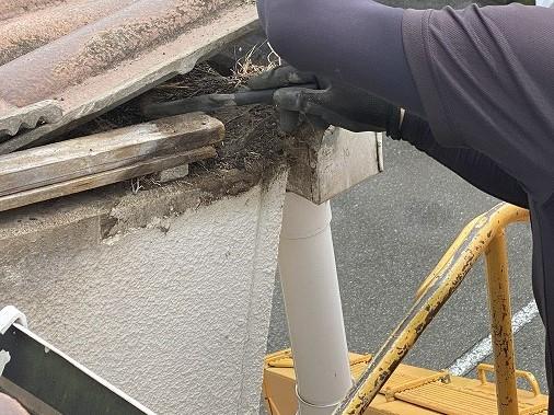 瓦の下から鳥の巣を撤去するスタッフ