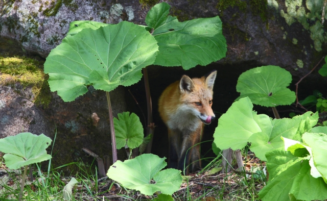 岩場に雨宿りし寂しそうな狐