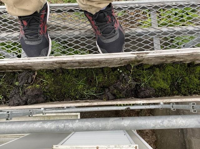 足場に乗り大型雨樋を覗き込むと苔がビッシリ詰まっている