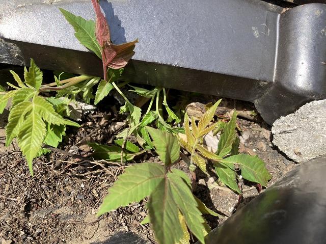 安易に抜くと雨漏りに繫がる、棟瓦へ生えた植物