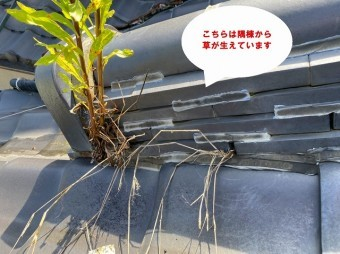 笠間市で化粧棟から木?隅棟から草?で隅棟から生えた草大きい草