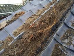 降り棟の葺き土部分に大量に根が張っている