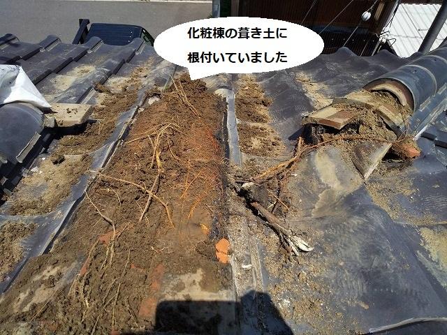 笠間市の現場の化粧棟内部の葺き土に根付いていた根
