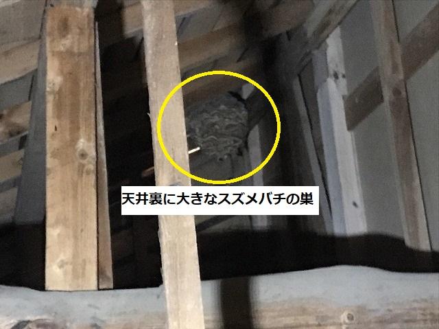 茨城町で調査中に天井裏で発見した大きなスズメバチの巣