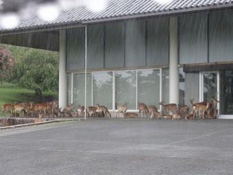 軒下の鹿の雨宿り